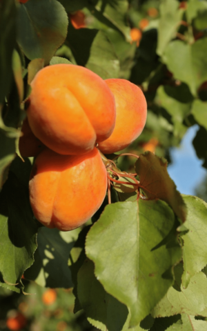 Tree ripened apricots in Cromwell, Central Otago. Taste the difference on a Crafted Journeys Central Otago Tour.