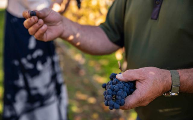 Central Otago Pinot Noir Grapes